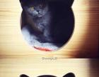 成年英短母猫 未绝育