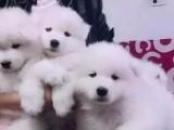 哈尔滨地区出售萨摩耶幼犬 转让萨摩耶 卖萨摩耶