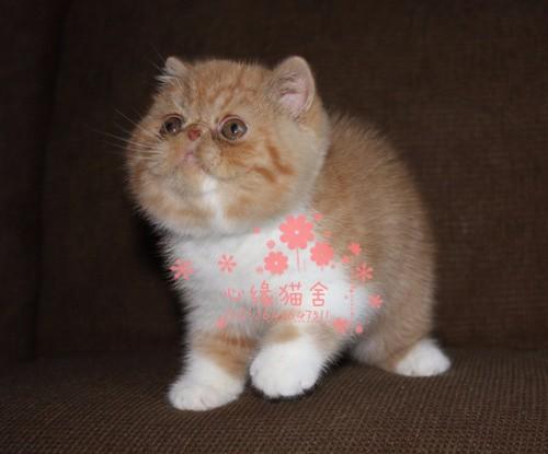 太原哪里的加菲猫比较便宜健康 太原什么地方可以买到加菲猫