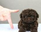 韩系小体泰迪 血统纯正 健康包活 签协议 假一陪十
