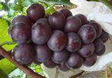 山东金乡周庄葡萄基地 千亩巨峰藤真葡萄提子已成熟