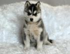 上海出售3个月的哈士奇犬(公母均有)包犬瘟细小-签协议
