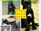 血统卡斯罗精品护卫犬出售高品质卡斯罗幼犬疫苗已做完