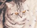 英短蓝猫 英短银虎斑两只4000