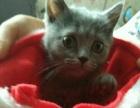 自家繁殖的英短蓝猫