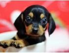 犬舍诚信直销 腊肠幼犬 健康纯种 支持上门可送货 无中介!