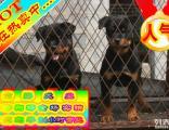 超精品罗威纳犬疯狂热卖中 特价质保三年 签订活体协议
