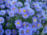 荷兰菊种植基地-您的不二选择 邢台荷兰菊
