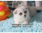 专业猫舍 自家养殖精品折耳猫- 疫苗驱虫齐全