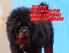珠海宠物狗 珠海哪里有卖藏獒犬 珠海藏獒价格