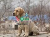 个性温和 活泼 没有攻击性的拉布拉多 最合适的家庭伴侣犬