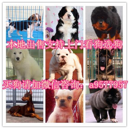 北京本地出售泰迪,博美,金毛,哈士奇,阿拉斯加,巴哥,边牧
