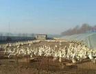 四面城镇郭家粱村 4000平米院子,700平养殖圈舍