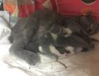 新生蓝猫宝宝找新家