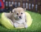 哪里卖纯种柴犬 金华哪里卖的柴犬便宜 金华日系柴犬价格