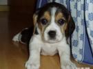 成都哪里出售比格米格鲁幼犬成都比格米格鲁多少钱