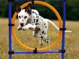 南京溧水寵物犬壞習慣糾正 大小便訓練培訓學校位置
