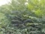 安徽批发香椿苗,批发多粗的香椿苗便宜,山东占地果树苗种植中心