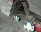 自家养的熊猫兔。
