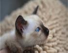 暹罗猫哪里有卖 小暹罗猫找新家,便宜不挣钱