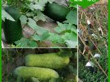 公司提供新鲜优质冬瓜 纯天然 美味冬瓜健烘 蔬菜基地直供