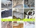 宠物兔批发 长毛垂耳兔 狮子兔 猫猫兔 安哥拉兔 小黄兔苗