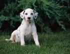 高品质斑点 犬舍直销 纯正血统大斑点小斑点狗