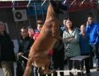 宠物犬,工作犬训练,出售、寄养