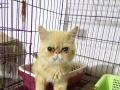 转让一公一母纯种加菲猫,四个月龄