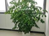 东莞厚街绿植租赁,办公室花卉出租汇安园艺植物租摆