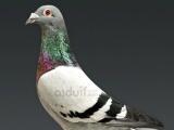 赛鸽,血统:詹森、桑杰仕、吐尼尔,转给喜爱鸽子的人。 - 1