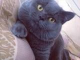 英短藍貓 一只大膽好奇兼溫柔貓咪 品質優秀疫苗齊全