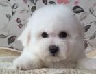 超级可爱的卷毛比熊精灵幼犬小小的身体圆圆脑袋
