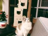 长春哪里有布偶猫卖 海豹双色 重点手套均有CFA认可多只可挑
