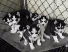 东莞官方认证宠物领养中心 现狗狗赠送中