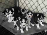 江门哪有哈士奇犬卖 江门哈士奇犬价格 江门哈士奇犬多少钱