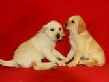 长沙狗狗之家长期出售高品质 拉布拉多 售后无忧