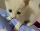 400一只幼猫 爸爸暹罗猫
