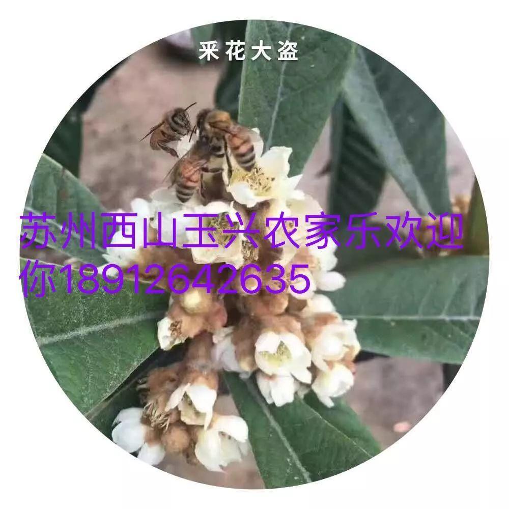 苏州西山玉兴农家乐包吃包住138一位采摘橘子石榴品