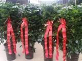 合肥蜀山区繁华大道九龙路鲜花开业开张花篮发财树招财树绿植配送