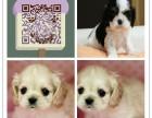 上海自家繁殖中心出售可卡犬 可卡幼犬 可卡价格 纯种健康