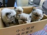 可刷卡可送货 自家猫舍繁殖出售 波斯猫 签正规售后协议