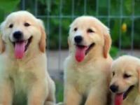 让您买到超 精品金毛幼犬 顾客信赖的选择-有保障犬