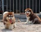 出售纯种阿拉斯加 签订协议 送货上门 支持视频看狗