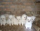 出售自家养的银狐犬