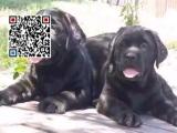 哪里出售拉布拉多犬 纯种拉布拉多犬多少钱