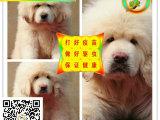 狮系藏獒出售 纯种藏獒 纯种极品幼獒名獒血系出售