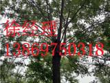 北京国槐-山东品种好的国槐供应