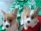 专业繁殖精品柯基犬 包犬?#26009;?#23567;冠状 包售后签协议