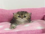 貓舍繁殖出售金吉拉可送貨簽協議公母都有多窩